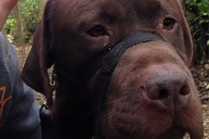 Katie Millward and Rolo, the Chocolate Labrador
