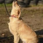 Dog Training Leicestershire
