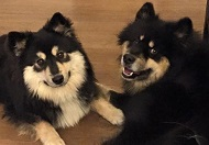 Cat Pashley and Miska and Kasi, the Finnish Lapphunds