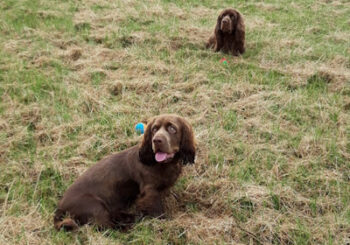 Sue Bull and Dottie and Dexter, the Sussex Spaniels