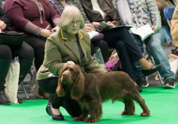 Elaine Allen-Line and Harvey, the Sussex Spaniel