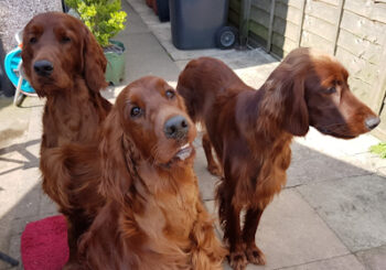 Maddy Anthony and Marty, Flame and Freya, the Red Setters